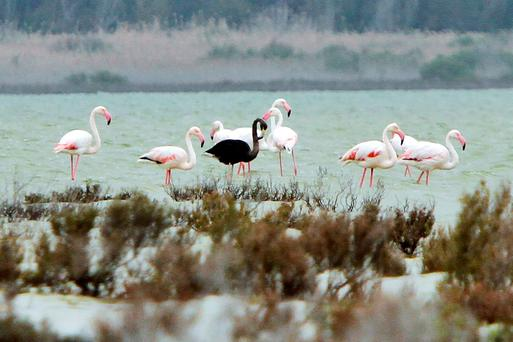 A black flamingo is seen in a salt lake at the Akrotiri Environmental Centre on the southern coast of Cyprus Credit: Marinos Meletiou