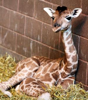 The Rothschild's giraffe calf born at the Zoo, which has died of a infection contracted at birth. Photo: Belfast Zoo/PA Wire