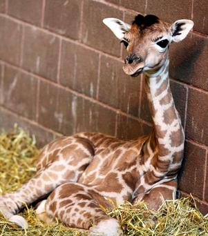 Undated handout photo issued by Belfast Zoo of a Rothschild's giraffe calf born at the Zoo, which has since died of a infection contracted at birth. Belfast Zoo/PA Wire