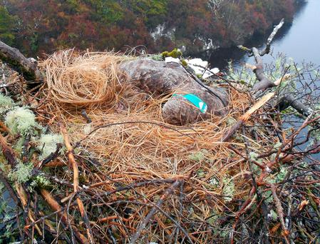 A white-tailed sea eagle, which was found dead in its nest at the start of the month was poisoned, tests have confirmed. Photo: Department of Arts, Heritage and the Gaeltacht/PA Wire