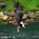 A White-Tailed Sea Eagle