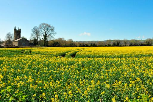 Oilseed rape in full bloom. Photo: Roger Jones.