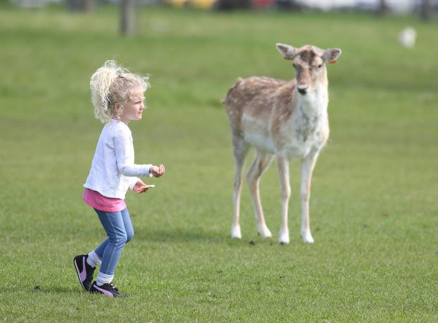 Naoimi Garcia (5) from Madrid feeds the deer in the phoenix park. Picture credit; Damien Eagers