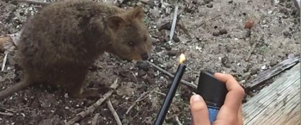 The quokka survived the incident with singed fur