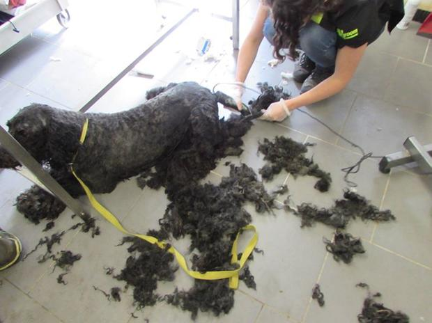 Some dogs needed expert grooming to remove painful matted fur Credit: ISPCA