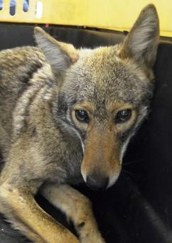 A coyote is shown after being captured by the New York City Police Department in New York April 25, 2015. REUTERS/NYPD/Handout