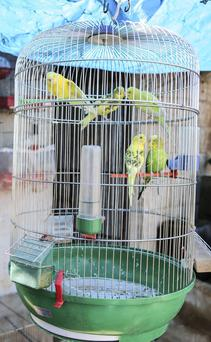 Finally I opened the cage door - and discovered that they had never flown before, as they sat looking out, unsure what to do.