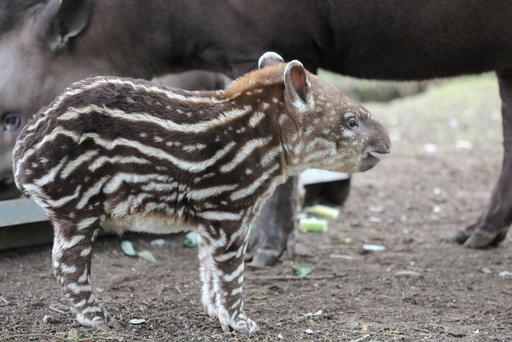 This baby tapir needs a name Credit: Fota Wildlife Park