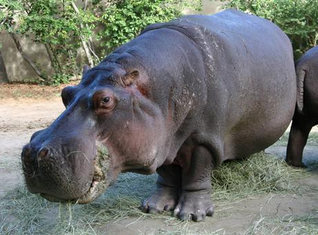 Bertie, a 58-year-old male hippopotamus, the Zoo's longest resident