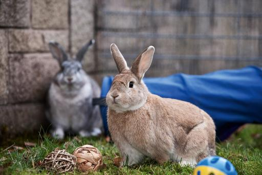 Some 70 pc of Ireland's pet rabbits do not have a digging area Credit: RSPCA