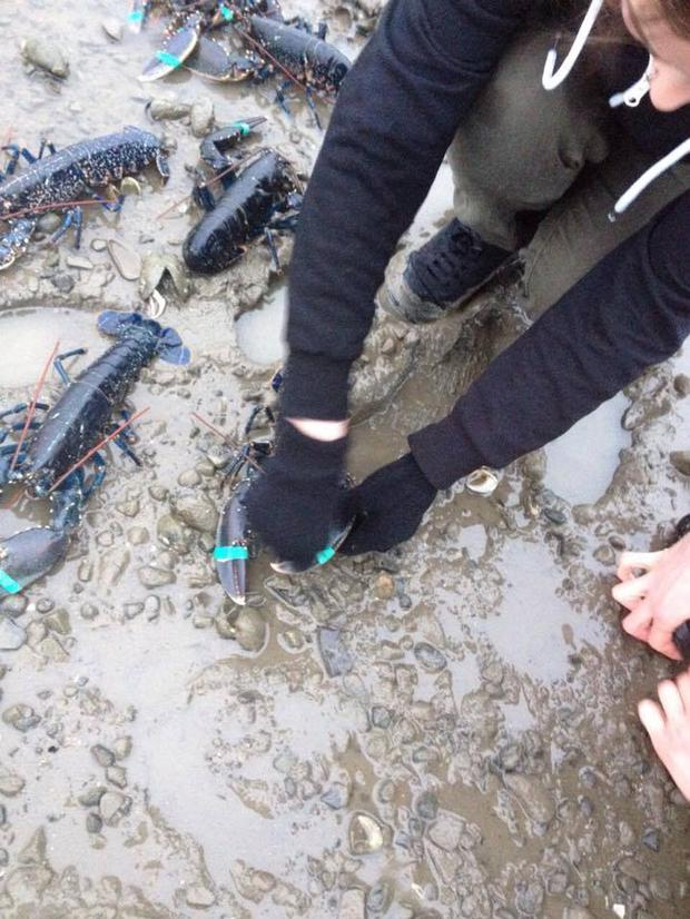 The group removed the lobsters rubber bands before releasing them Credit: National Animal Rights Association