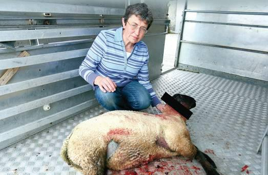 Roberta McMullan with one of her lambs that has had its ear cut off before suffering a heart attack and dying on the Battleford Road in Armagh Pic: Belfast Telegraph