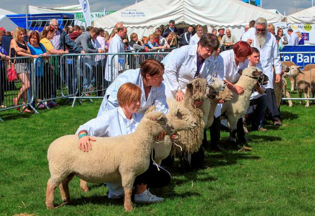 Rare breeds: Exhibitors line up their rare breed sheep at Balmoral last week. Photo: Siobhan English.