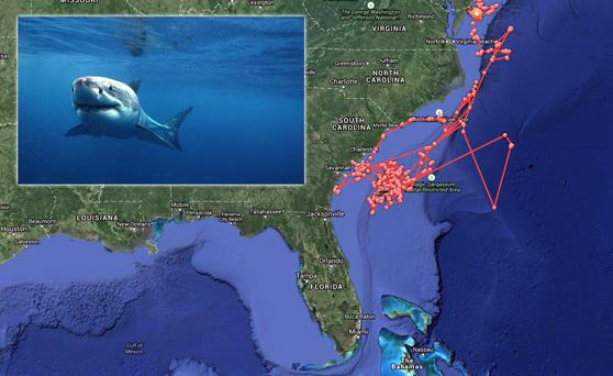 Composite: A great white shark shown over a tracker map of Mary Lee's movements off the US coast. Source: Ocearch.org