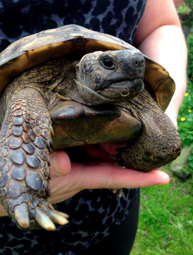 Bobby, a 37-year-old Hermann's Tortoise, which has gone missing twice in the last week, his owner, Debbie Acton, 42, of Barnacle in Warwickshire, believes he was in search of a female. PRESS ASSOCIATION Photo. Picture date: Thursday May 28, 2015. See PA story ANIMALS Tortoise. Photo credit should read: Richard Vernalls/PA Wire