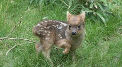 Southern Pudu fawn explores its enclosure at the Queens Zoo, New York