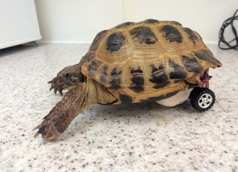 Touche the tortoise after undergoing surgery to fit a wheel in Bristol Credit: Highcroft Veterinary Hospital/PA Wire