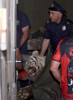 A policeman stands next to a white tiger killed by police in Tbilisi, Georgia, June 17, 2015. Tigers, lions, bears and wolves were among more than 30 animals that escaped from a Georgian zoo and onto the streets of the capital Tbilisi on Sunday during floods that killed at least 12 people. REUTERS/Irakli Gedenidze