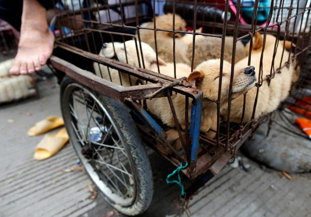Dogs for sale are kept in a cage in Dashichang dog market on the day of local dog meat festival in Yulin, Guangxi Autonomous Region REUTERS/Kim Kyung-Hoon