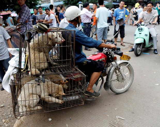 A dog vendor carries dogs in a cage on his bicycle in Dashichang dog market on the day of local dog meat festival in Yulin, Guangxi Autonomous Region REUTERS/Kim Kyung-Hoon