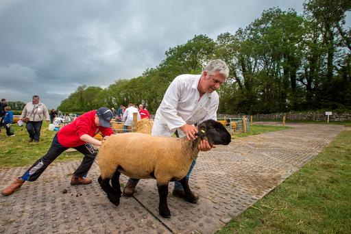Heave: Oran Conry (11) gives his uncle Thomas Kenny, from Ballinasloe, Co Galway some help to get a stubborn sheep to the show ring at Sheep2015
