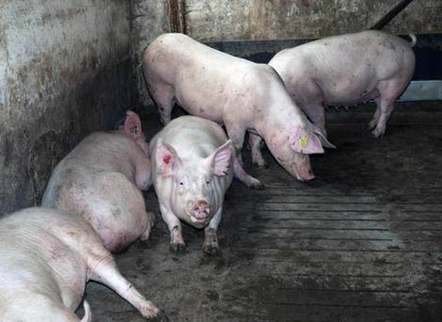 Pigs at the farm in Newtownabbey