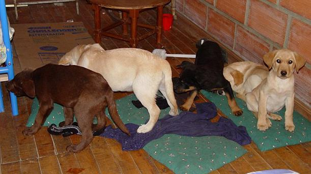 Four of the puppies that were surgically implanted with liquid heroin by Mr López Credit: AP/Getty Images
