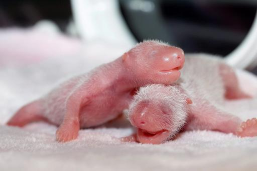 Newborn twin female panda cubs are seen inside an incubator at the Giant Panda Research Base in Chengdu, Sichuan province, China, June 22, 2015. REUTERS/China Daily