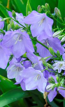 Pretty: The elegant bellflower is in flower now