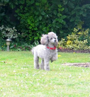 Holli the Toy Poodle, last seen in Chapel Green in Rush, County Dublin