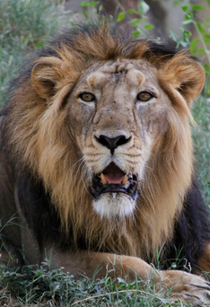 At least 10 of the country's 523 lions were killed in the floods
