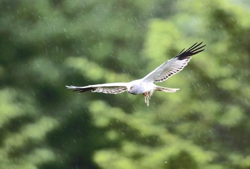 Protected: a hen harrier
