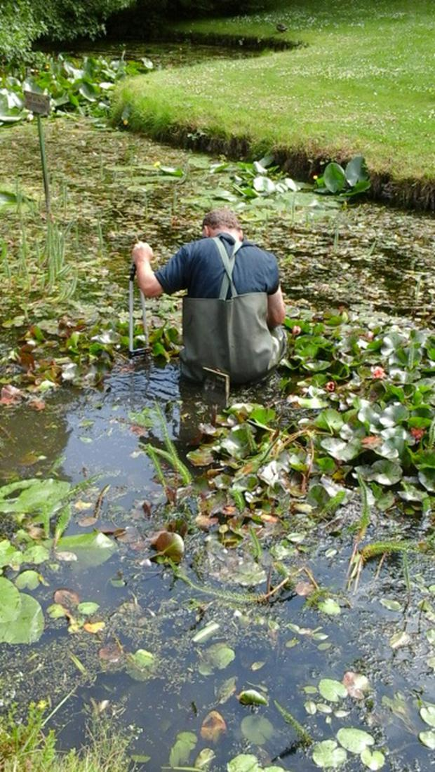 A worker from the Botanic Gardens searching in a pond for the mobile phone belonging to Vanessa Keegan that was dropped in after it was stolen by a seagull.