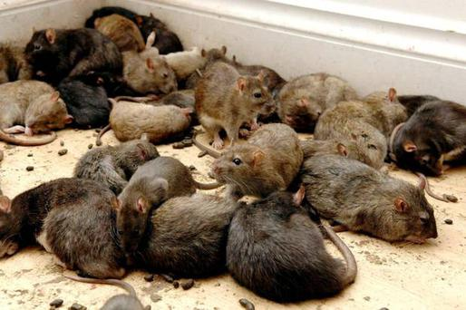 Ireland could be facing a plague of super rats