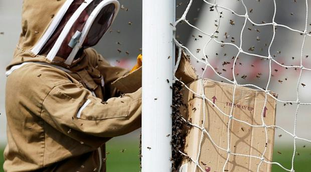 Delay: Beekeepers tackle the infestation at Boundary Park Photo: REUTERS