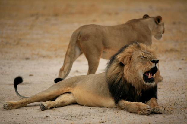 This handout picture taken on October 21, 2012 and released on July 28, 2015 by the Zimbabwe National Parks agency shows a much-loved Zimbabwean lion called