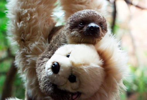 Baby sloth named
