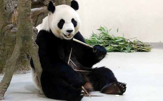 Yuan Yuan faked​ signs of pregnancy after seeing other pandas getting more personal attention