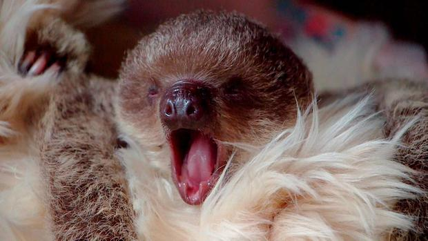 Two-toed baby sloth Edward Scissorhands yawns in this handout photograph taken at London Zoo