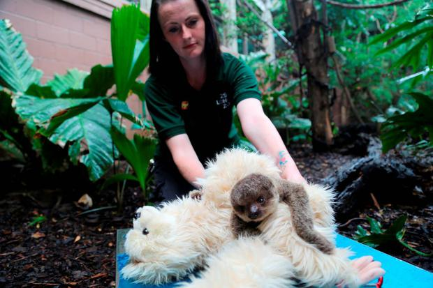 Kelly-Anne Kelleher with a baby sloth named