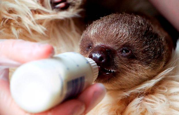 A baby sloth named
