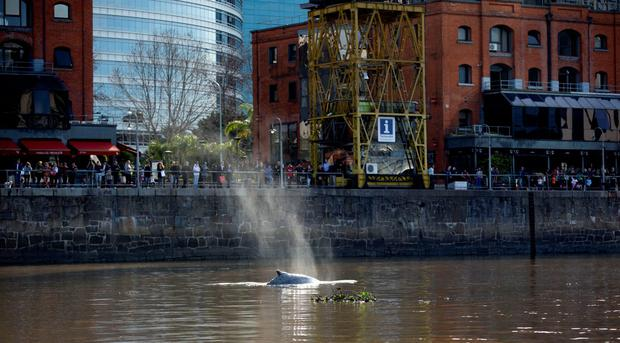 People watch a lost whale in Puerto Madero, Buenos Aires, Argentina, Monday, Aug. 3, 2015. (AP Photo/Natacha Pisarenko)