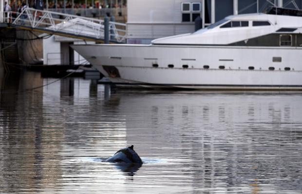 A stranded humpback whale surfaces at the docks of Puerto Madero neighbourhood in Buenos Aires, Argentina, August 3, 2015. REUTERS/Marcos Brindicci