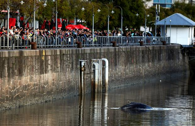 A stranded humpback whale surfaces at the docks of Puerto Madero neighbourhood as people watch in Buenos Aires, Argentina, August 3, 2015. REUTERS/Marcos Brindicci