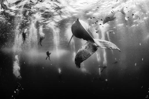 Diving with a humpback whale and her new born calf while they cruise around Roca Partida Island, in Revillagigedo, Mexico. This is an outstanding and unique place full of pelagic life so we need to accelerate the incorporation of this islands into UNESCO as natural heritage site in order to increase the protection of the islands against the prevailing illegal fishing corporations and big game fishing. Photo: Anuar Patjane Floriuk / National Geographic Traveler Photo Contest