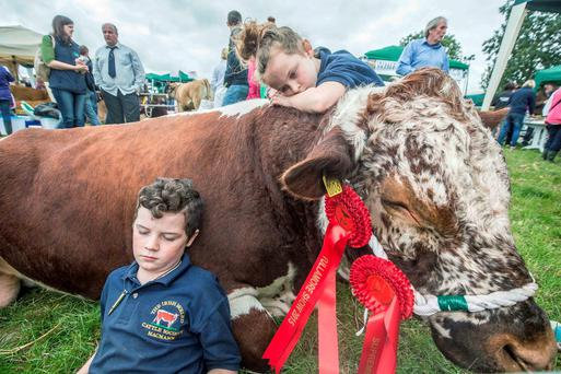 Conrad (11) and Beth McConnell (8) from Donegal resting against the family bull Macmann Bullagh Bos during the Tullamore National Livestock Show