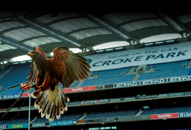 Here's one Hawk that has a bird's eye on all the pigeons at Croke Park