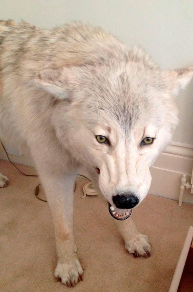Unique stuffed Arctic wolf worth over £32,000, which has been stolen from a property in London Credit: Metropolitan Police/PA Wire
