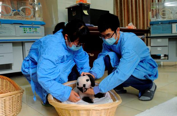 Researchers place a giant panda cub into a basket during its debut appearance to visitors at a giant panda breeding centre in Ya'an, Sichuan province, China REUTERS/Stringer