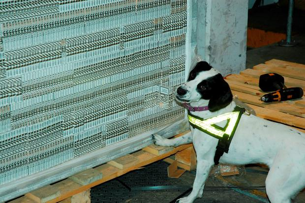 Sniffer dog Casey at Dublin Port during the discovery of eight million black cigarettes elaborately hidden within window frames arriving off a boat from Rotterdam. Credit: Revenue Customs Service/PA Wire